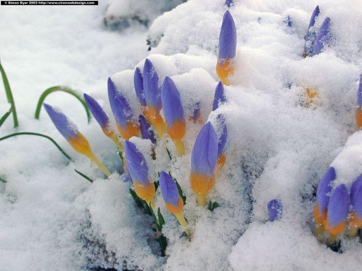 crocus_snow.jpg (JPEG Image, 2048×1536 pixels) - Scaled (61%)