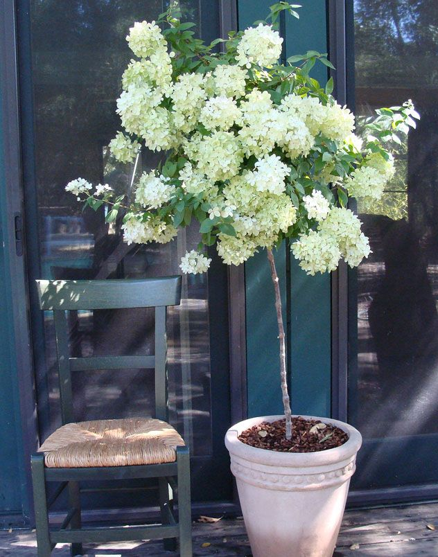 Hydrangea topiary. Want!! & other container ideas.  Perfect! I love hydrangeas but have no where to  put such a huge thing. Topiary! YAY!