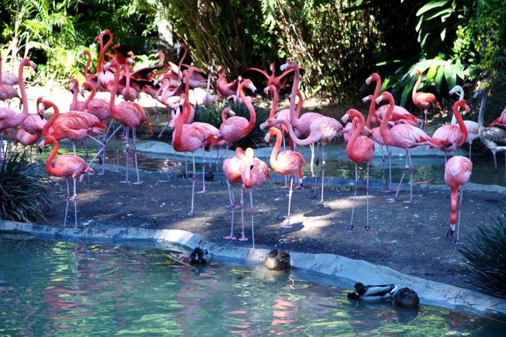 Nichts an den Farben gedreht. Ich schwör. Pink Flamingos im San Diego Zoo.