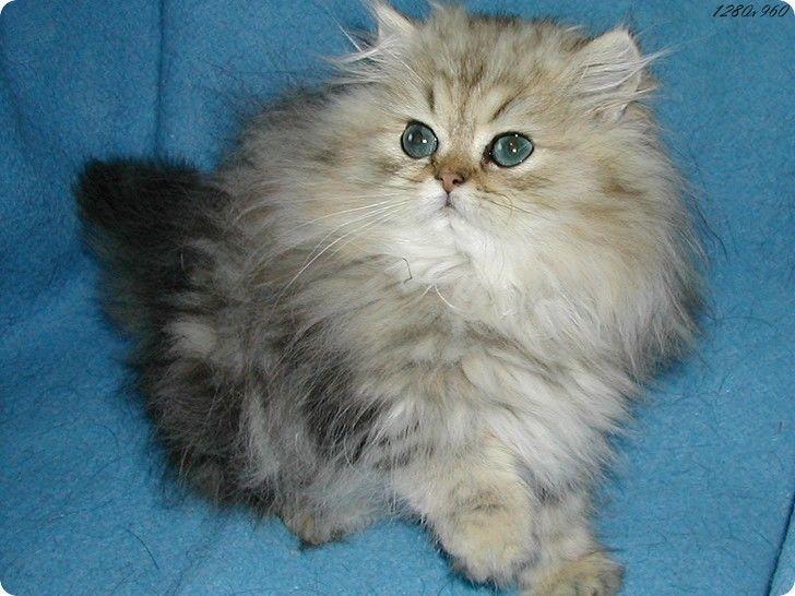chaton angora duveteux yeux bleus