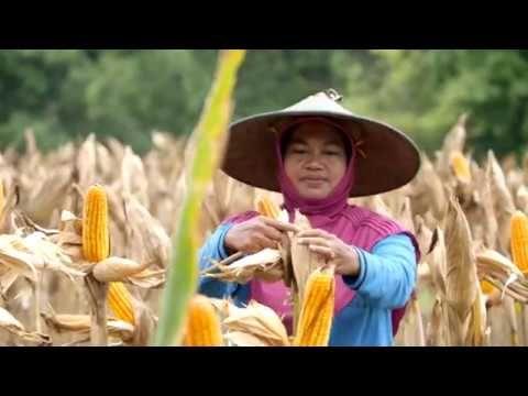 CERITA seorang petani bernama Sujiyem tentang program perhutanan sosial. SK Perhutanan sosial yang telah diperoleh Sujiyem, memberikan dampak positif bagi perekonomian keluarganya.