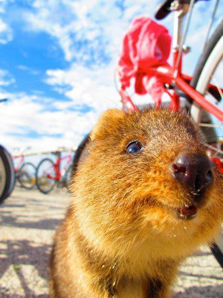 A little Quokka on Rottnest Island, West Australia