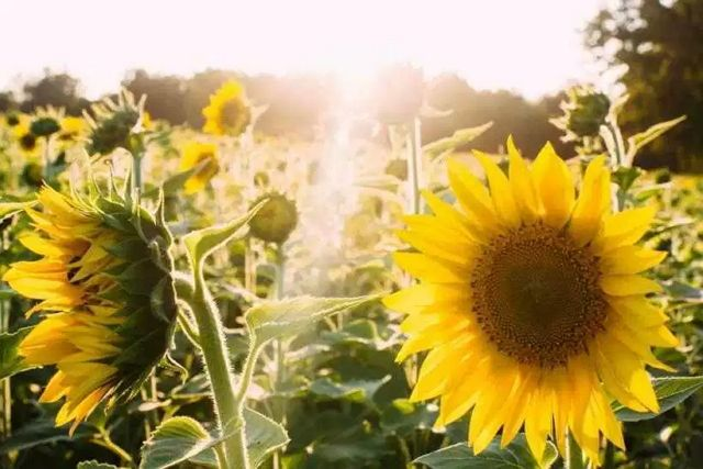 6 Filosofi Bunga Matahari yang Melambangkan Keteladanan Hidup | Pinterest | Tegg Sabrina | #berita #news #informasi #portalberita #malesnulis