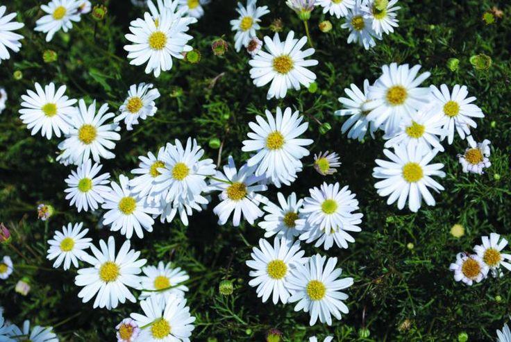 Brachyscome White Bliss Brachyscome - Ground Cover