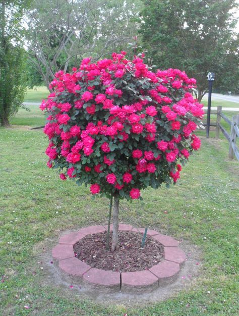 My Knock Out Rose Tree in the front yard 5-2013... WOW!