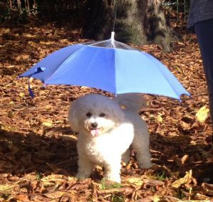 Dog Umbrella Time to go on rainy day walks!