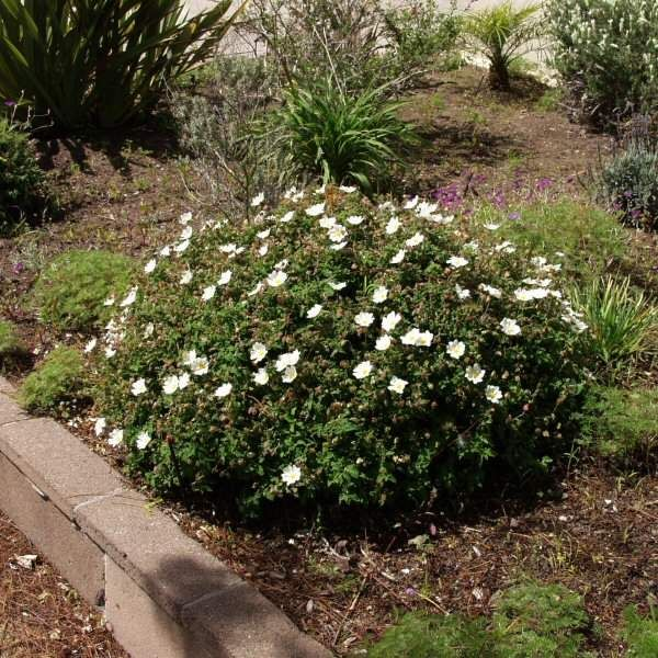767 Best Images About Waterwise Plants For Ca Gardens On