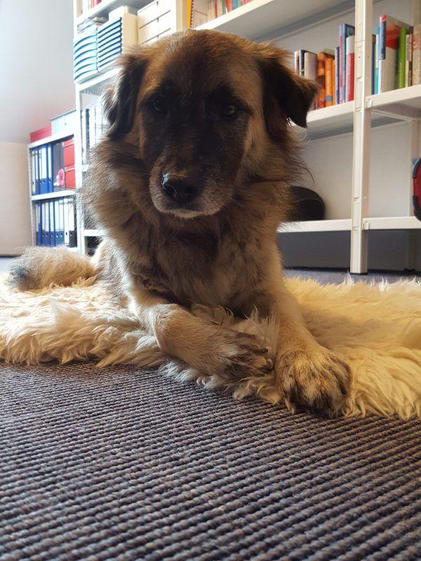 Welthundetag 2016 - Bürohund Zausel