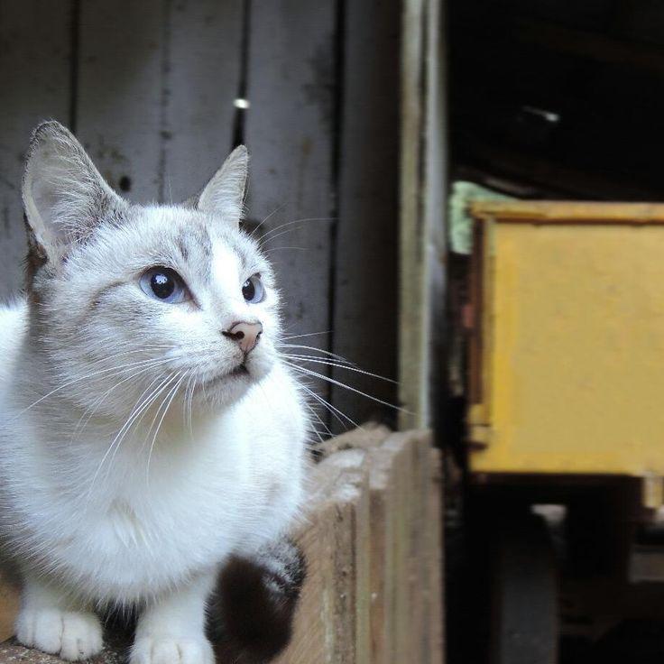 """58 curtidas, 2 comentários - Jessica Gabriela Edel 🍁 (@jess_edel) no Instagram: """"Te hecho de menos. 🐈🌠😢 . . . . . . #Cat #gato #nature #natureza #animals #blueeyes #white like…"""""""