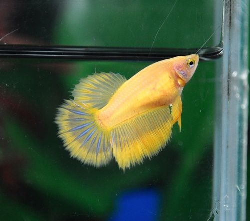16 best images about female betta fish on pinterest lady for Female betta fish pictures