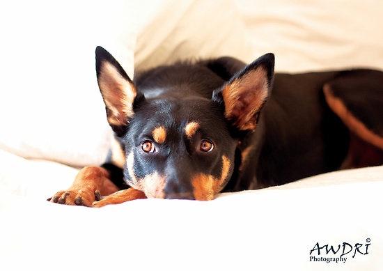 AWDRI Calendar 2013 - February by Australian Working Dog Rescue