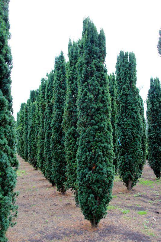 Taxus baccata 'Fastigiata Robusta'; USDA zone: 5-8