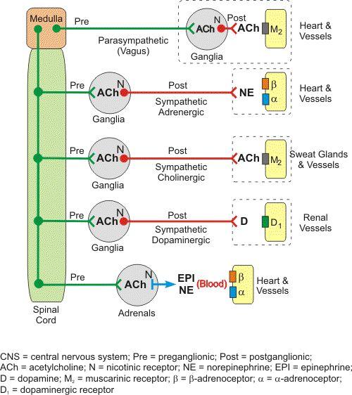 muscarinic vs nicotinic receptors | PHARMACOLOGY: AUTONOMIC NERVOUS SYSTEM(ANS)