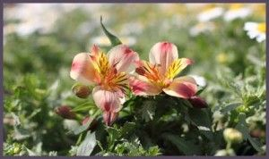 Common name: Peruvian lily, Lily of the Incas, Parrot lily, Princess Lily. Family: Alstroemeriaceae. Genus: Alstroemeria. Plant type: herbaceous perennial. Height: 6-18 in. (15-45 cm). Flower colors: pink, red, maroon. Bloom time: late spring and early summer.