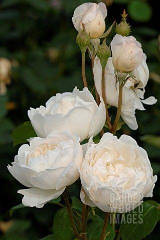 ROSA_GLAMIS_CASTLE_ROSE_ENGLISH_ROSE_DAVID_AUSTIN