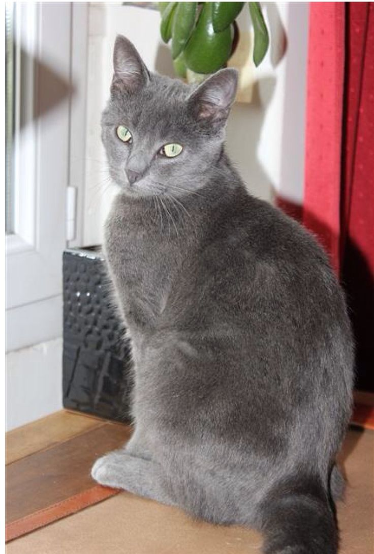 1659 best Russian blue images on Pinterest