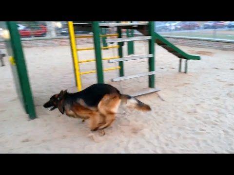 Danko  my German Shepherd, crazy in the sand June 23 2015 HD
