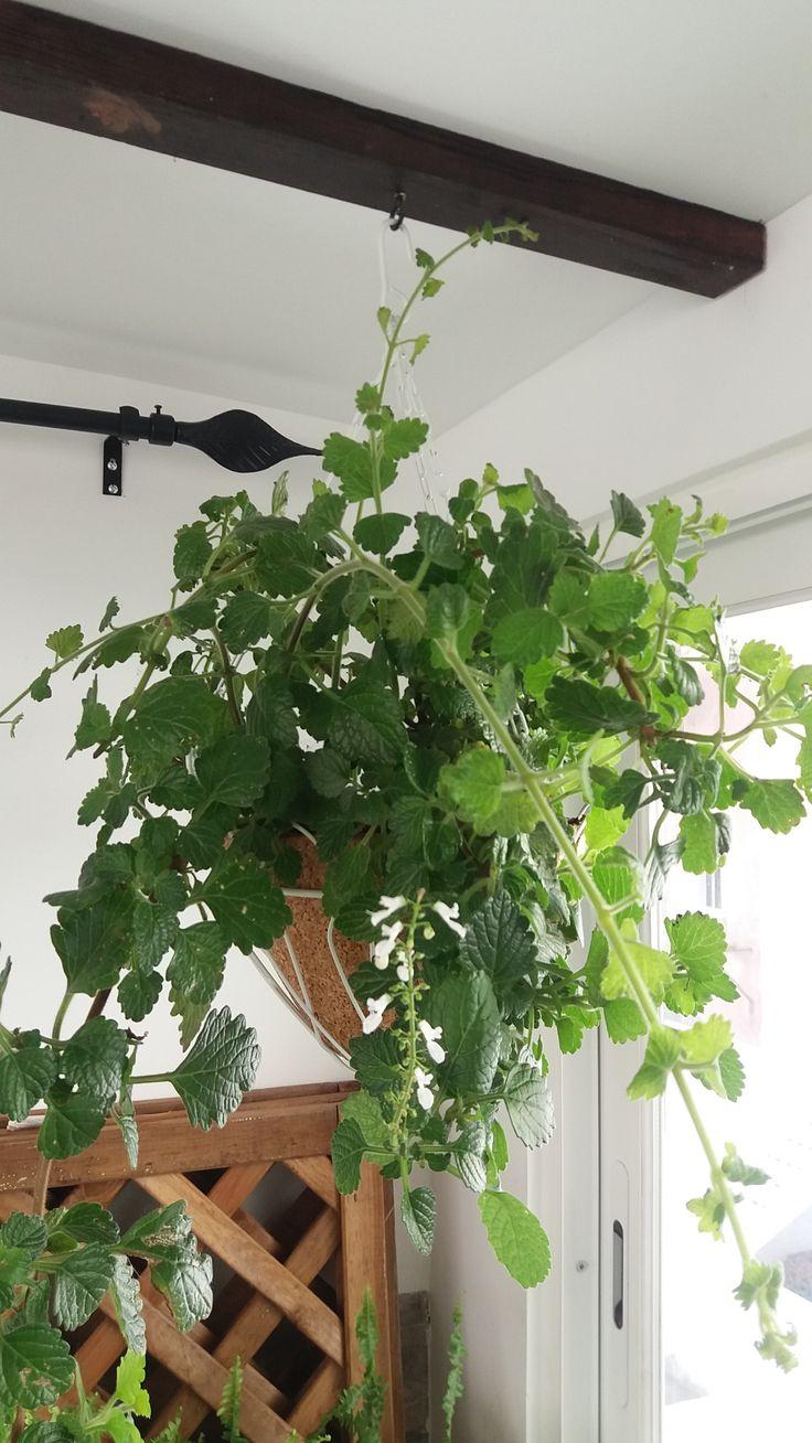 """Incenso-bastardo - """"Plectrancthus coleoides"""".  Custo reduzido da cesta, planta criada a partir de outra."""