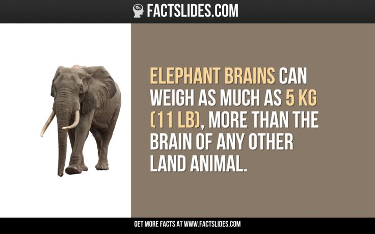 Elephant brains can weigh as much as 5 KG (11 LB), more than the brain of any other land animal.