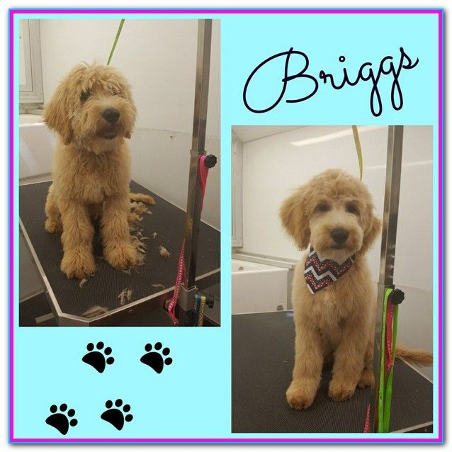 Dog Grooming On Wheels Nj Goldendoodle Grooming Dog Grooming
