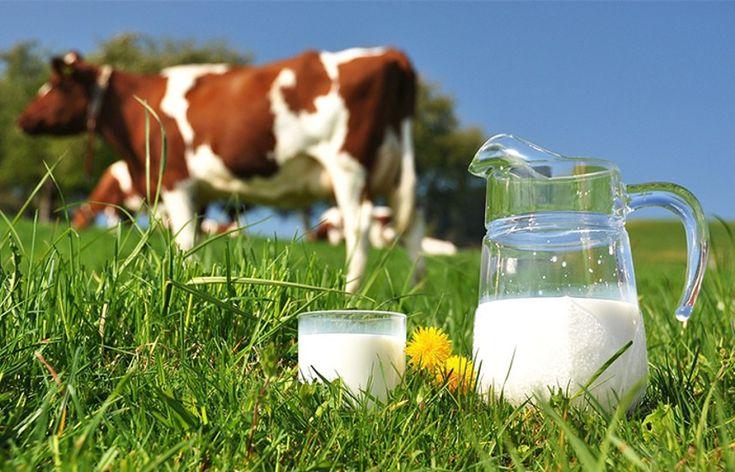 Leite puroda vaca é melhor que o industrializado? - Sobre Peso