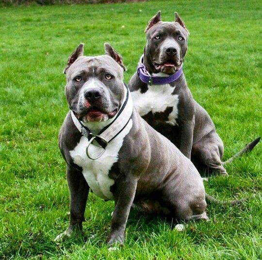 Big Bully American Bully Micro Pocket Classic