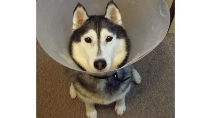 Despite her rough start to life where she was chained to a pole for 6 years, this beautiful husky Destra has found her forever home. #itsMYCAUSE #husky #dog #animals #pets #love #welfare #animalwelfare