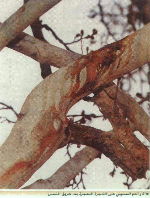 Tree in Karbala bleeds every 10th Muharram. The day our beloved Hussain RaddiAllahu Ta'ala An'hu was Martyred