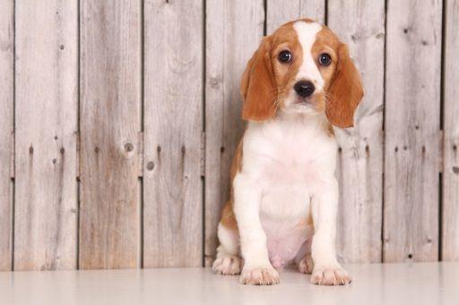 Beaglier puppy for sale in MOUNT VERNON, OH. ADN-46040 on PuppyFinder.com Gender: Male. Age: 16 Weeks Old