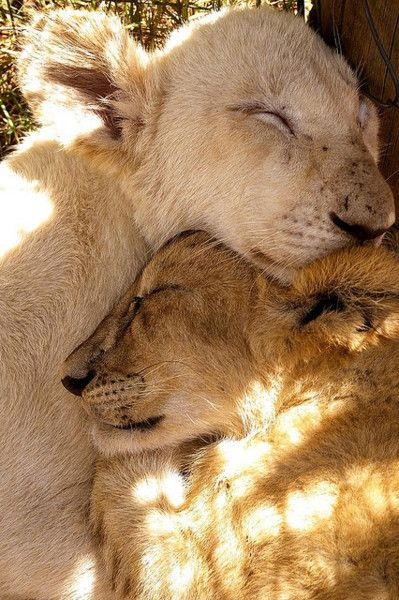 snuggly nap time - lion cubs animal