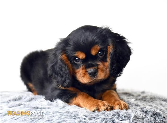 79 King Charles Cavalier Puppies Price Range In 2020 King Charles Cavalier Spaniel Puppy Spaniel Puppies For Sale Cavalier Puppy