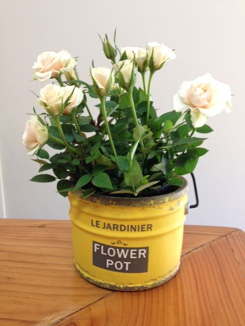 """le Anglais"" Flower Pot  *new range* part of Summerhill's new contemporary range!  Cement pot in brilliant yellow or brightest blue! filled with your choice of flowering roses, fuchsias, cyclamen, exacum or lush green foliage ferns! http://www.summerhillnurseries.com.au/www/content/default.aspx?cid=1808&fid=670"