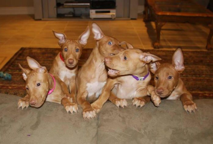 pharaoh hound puppies <3 i think keith and i neeeeeeeed another one so Lylah has a friend!!!!