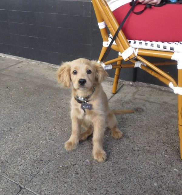 Henry the Miniature Golden Retriever (Cocker Spaniel Mix) Puppy