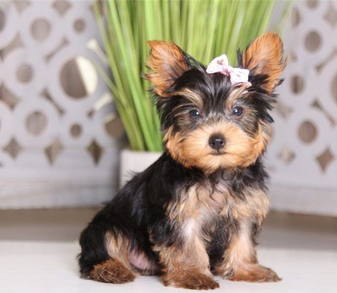 Available Puppies Unity Yorkie Puppies Yorkie Puppy For Sale Teacup Puppies For Sale Yorkie Terrier