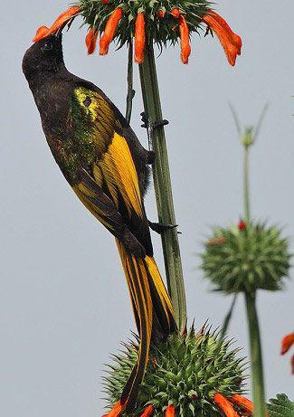 Golden-winged Sunbird in Kenya by Steve Garvie