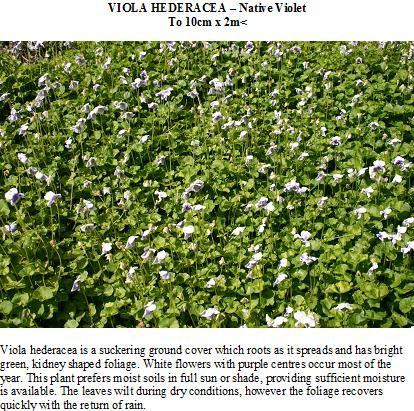 Native violet - Viola hederacea. Knox Environment Society