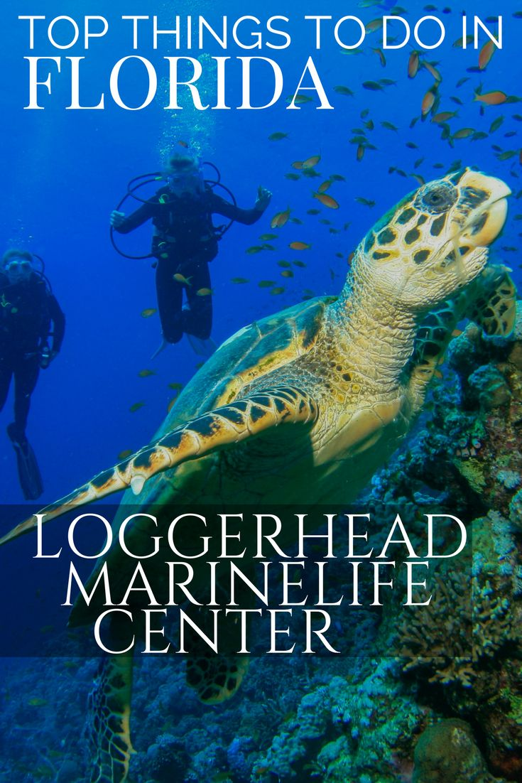 Things to do in Florida from Orlando to the Keys; Discover the beauty of the Sea Turtle at the Loggerhead Marine Life center located close to West Palm Beach. Discover why you should include turtle conservation as part of your Florida vacation.