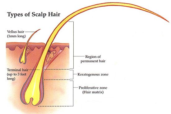 There are two different types of hair that is commonly found on the body of the human beings. Vellus hair and Terminal hair Terminal hairs are thick, long, and dark, as compared with vellus hair. During puberty, the increase in androgenic hormone levels causes vellus hair to be replaced with terminal hair in certain parts of the human body.