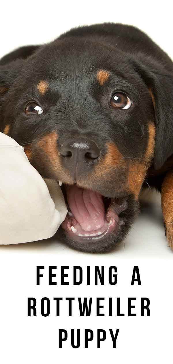 Feeding A Rottweiler Puppy Schedules Quantities And More