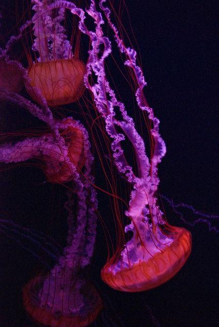 In Ihrem Element entfaltet diese Quallenart Ihre Pracht. Die meisten Quallen gehören zur Gattung der Nesseltiere.