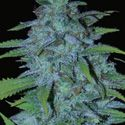 Buy Cannabis Seeds Online - High Quality Feminized Marijuana Seeds For Sale - Cheap Delivery