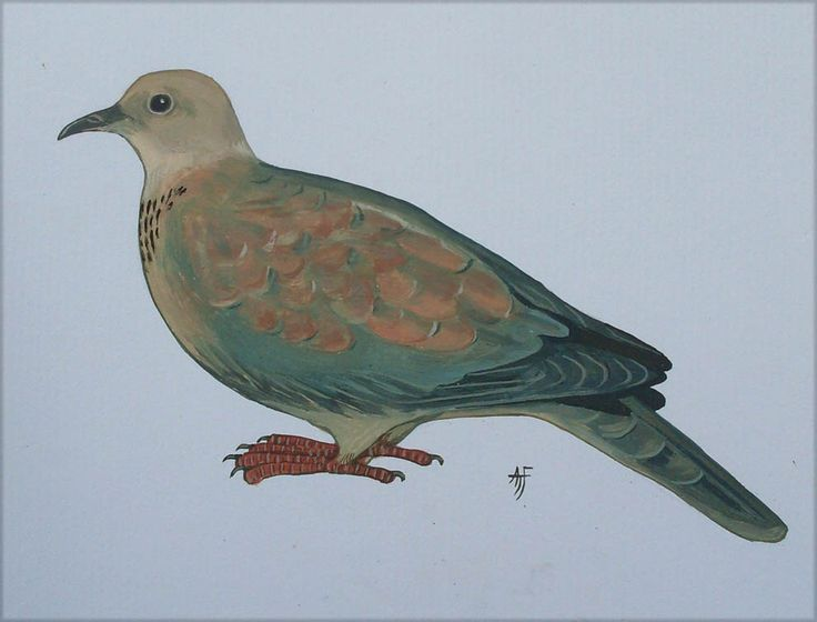 The Laughing Dove illustration by Tony Fredriksson