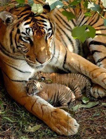 ^Mama tiger and her cubs / animaux / félin / tigre / bébé / rayures / mignon