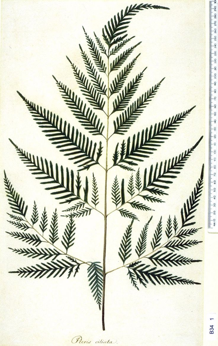 Botanical Illustration - Pteridium aquilinum Remember that you can get true prints by hammering leaves onto fabric or paper with transfer of chlorophyll dye.
