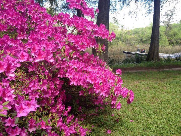 Alejandra Faure: Feliz Primavera para todos!! les comparto una hermosa azalea de mi casa de la isla.... una florcita para cada uno!! Saludos
