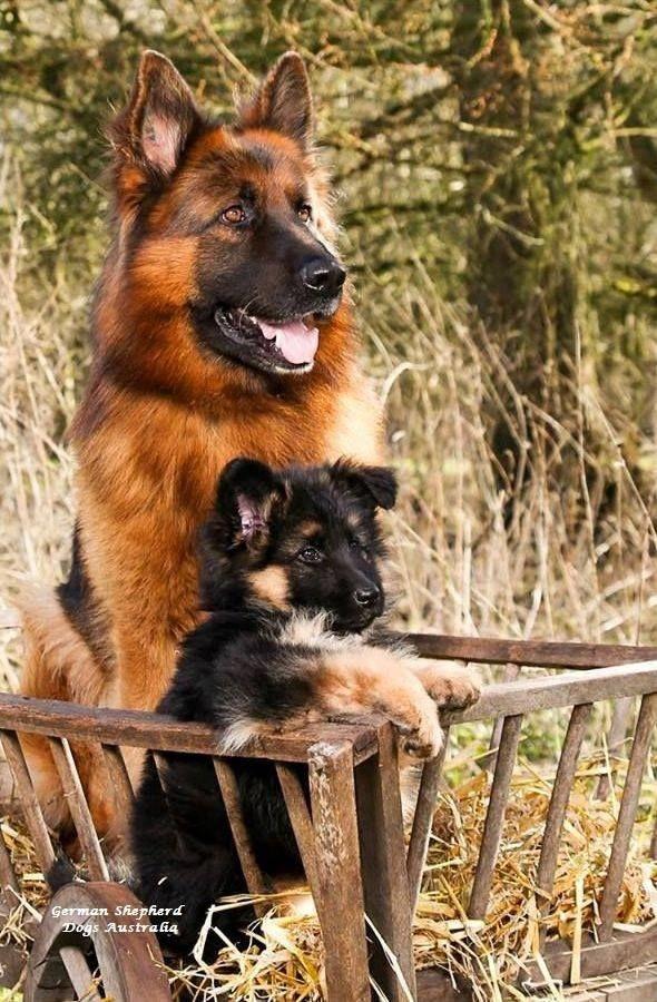 Germanshepherdshirt Hunde Schaferhund Welpen Tiere Hund