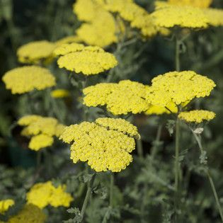 Achillea filipendulina 'Cloth of Gold' Yarrow - 9 cm