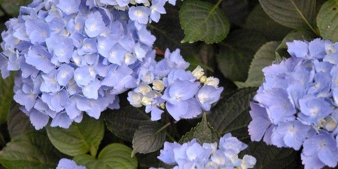 L'hortensia est une plante star de l'été avec ses grosses boules fleuries. Placé à la mi-ombre, au p