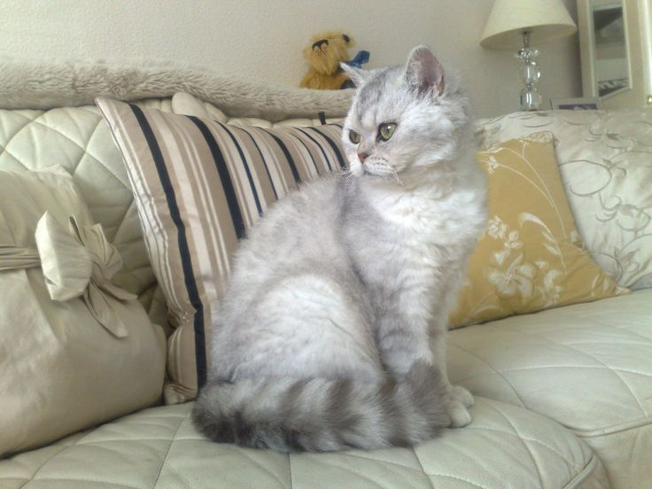 cats and antique furniture  | Breeding Pair, Pedigree Selkirk Rex | Newcastle Upon Tyne, Tyne and ...